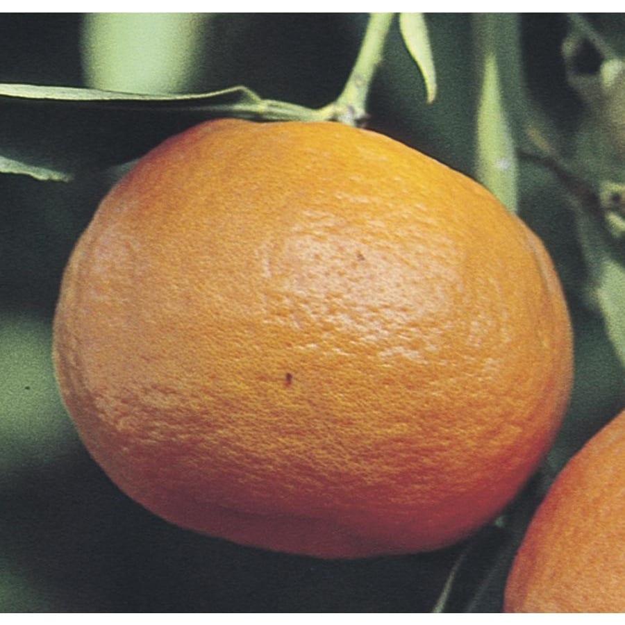 1.14-Gallon Tangelo Tree (L4687)