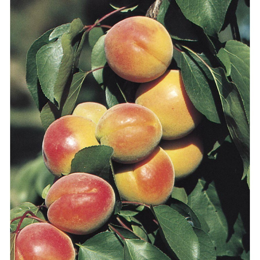 1.14-Gallon Apricot Tree (L7395)