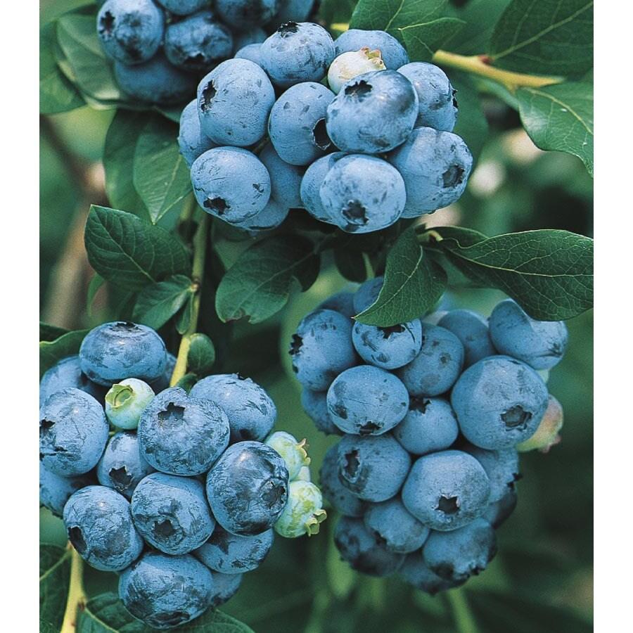 1.25-Quart Blueberry Small Fruit (L6021)