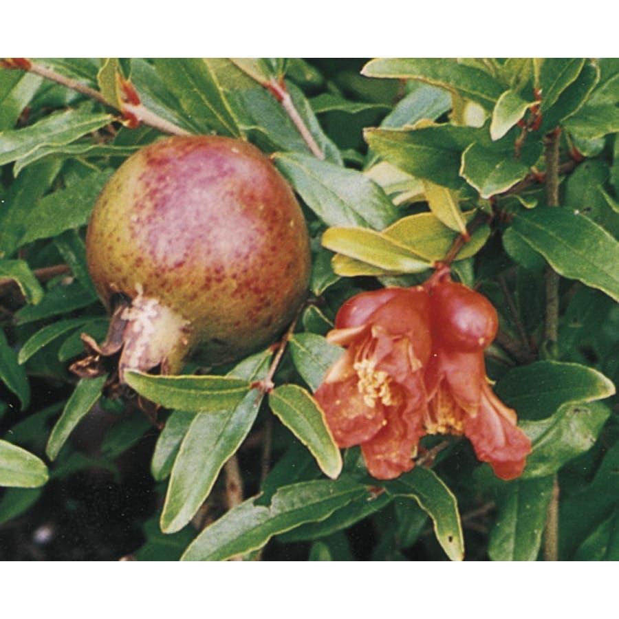 1.25-Quart Pomegranate Tree (L7402)