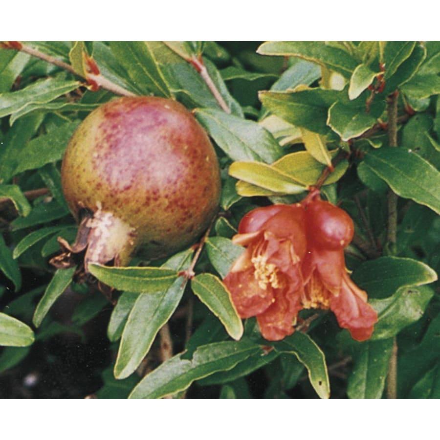 1.25-Quart Pomegranate Tree (L7402)