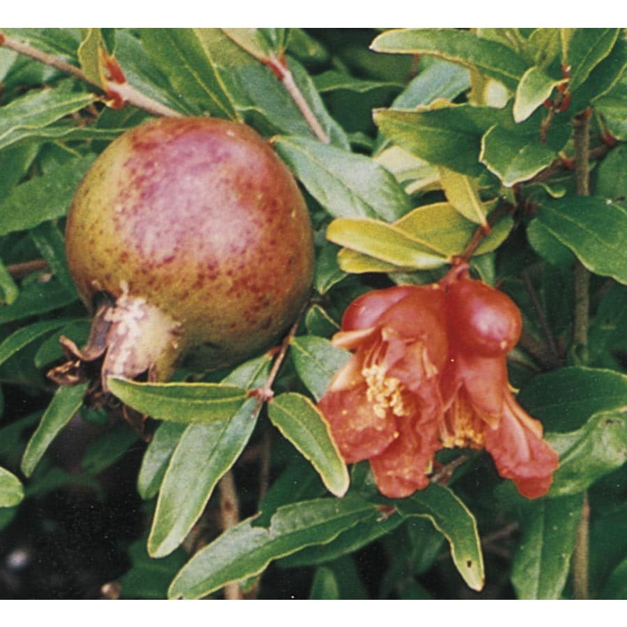 1.14-Gallon Pomegranate Tree (L7402)