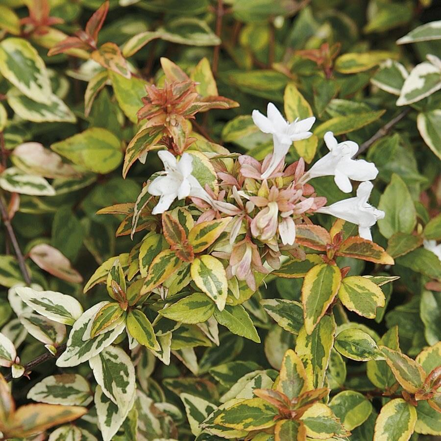 2.3-Gallon White Kaleidoscope Abelia Flowering Shrub (LW03279)