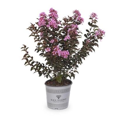 2 0 Gallon Black Diamond Lavender Lacea Flowering Tree N A