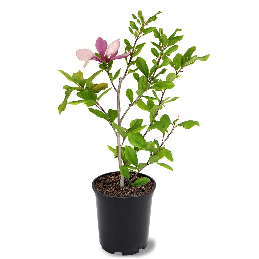Southern Planters 1 Japanese Magnolia Alexandrina Flowering tree (MAGALE01G) at Lowes.com