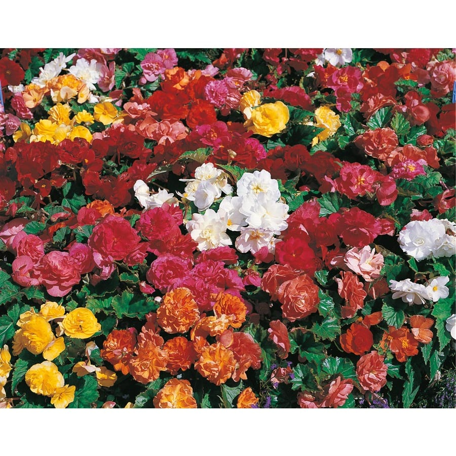 7-Pack Double Begonia (L10532)