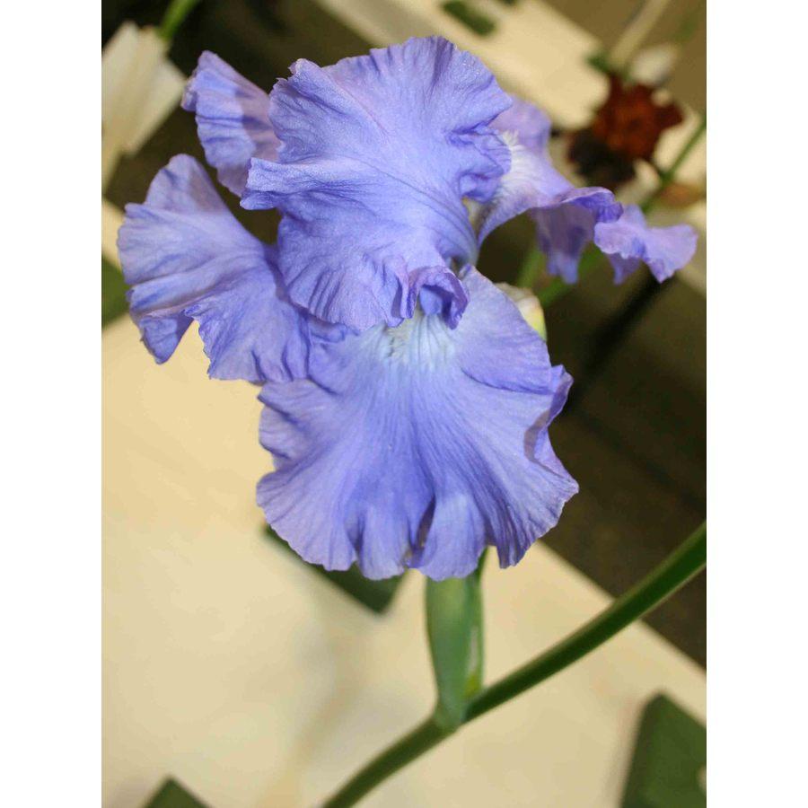 Victoria Falls Reblooming Iris Bulb