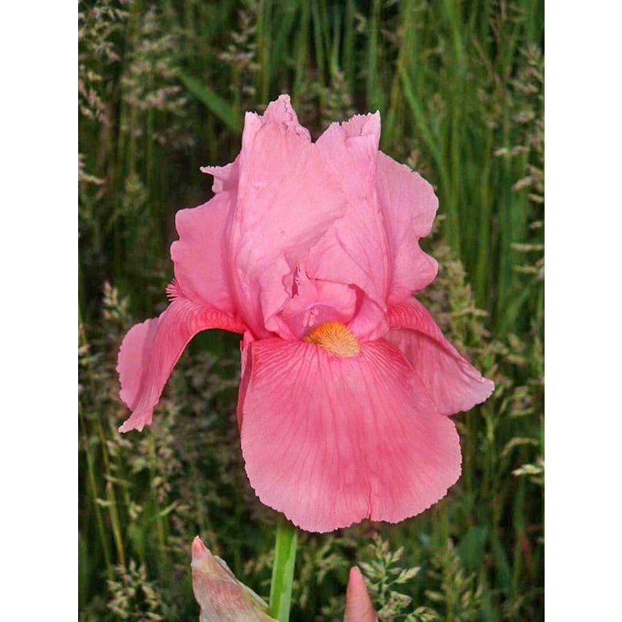 Shop pink horizon bearded iris bulb at lowes pink horizon bearded iris bulb izmirmasajfo