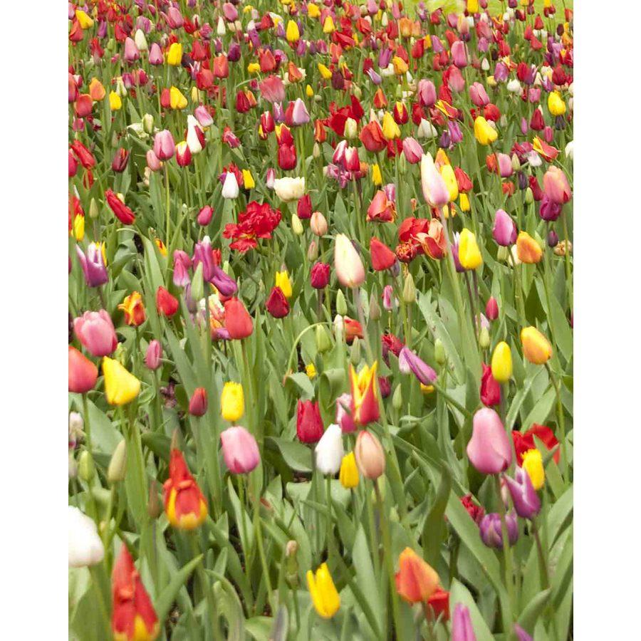 Shop 100 pack mixed perennial tulips bulbs at lowes 100 pack mixed perennial tulips bulbs mightylinksfo