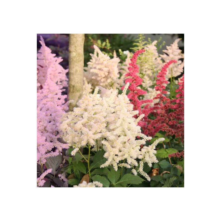 5-Pack Mixed Astilbe Bulbs at Lowes com