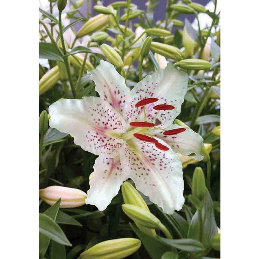 10-Pack Muscadet Oriental Lilies Bulbs