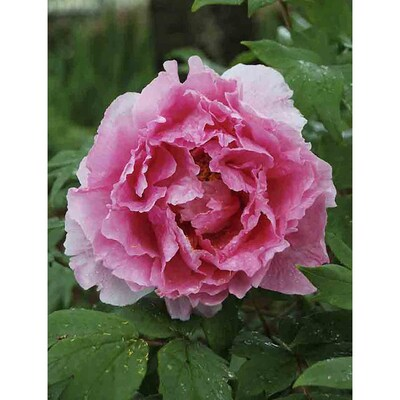 Pink Peony Bulbs At Lowes