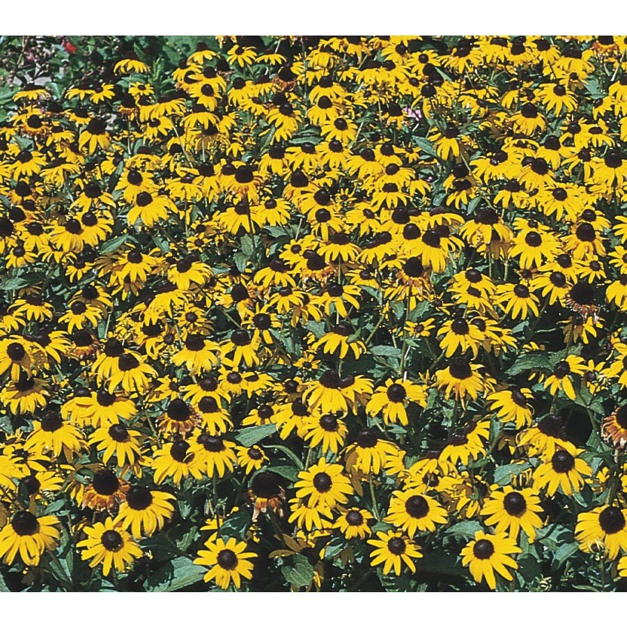 1-Quart Black Eyed Susan (L10158)