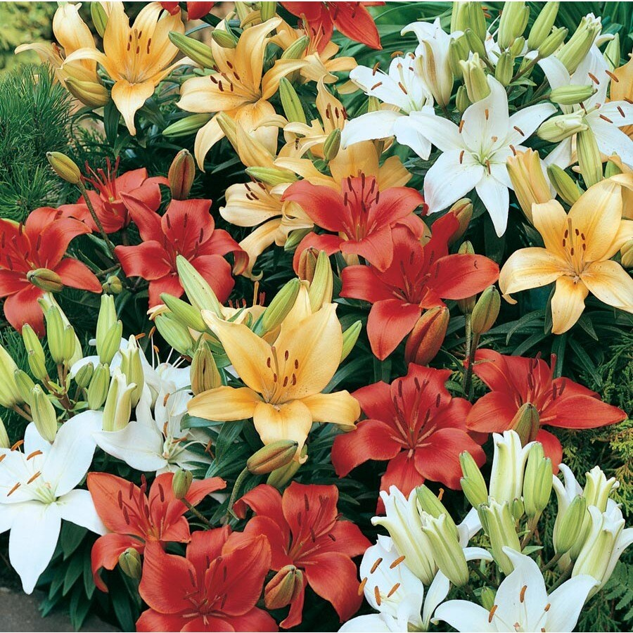 2.18-Gallon Asiatic Lily (Lw01857)