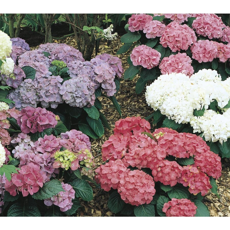 1-Gallon Mixed Hydrangea Flowering Shrub (L6357)