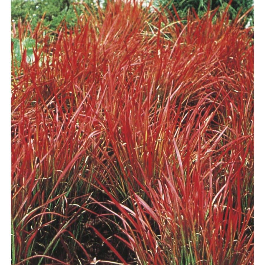 2.5-Quart Japanese Blood Grass (L3065)
