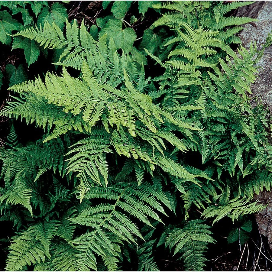 1-Quart Lady Fern (L8048)