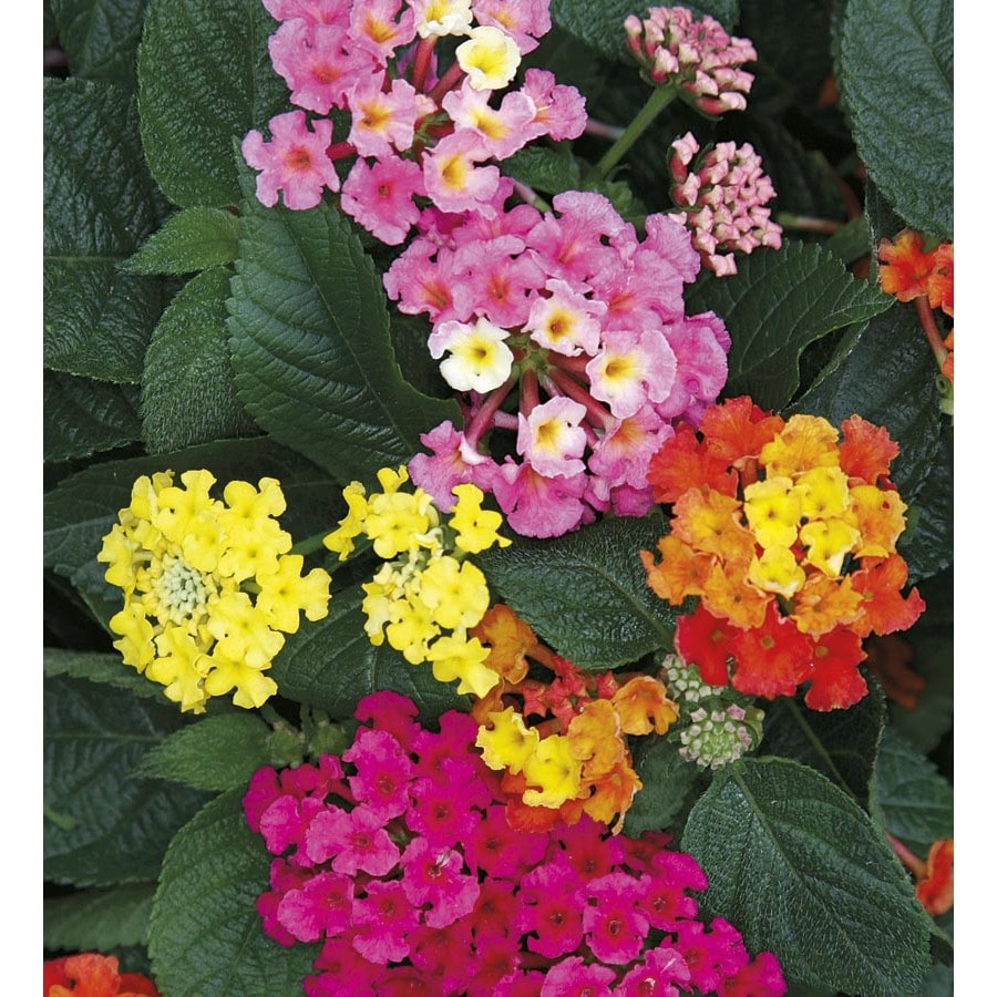1.5 Gallon Potted Lantana (L6708)