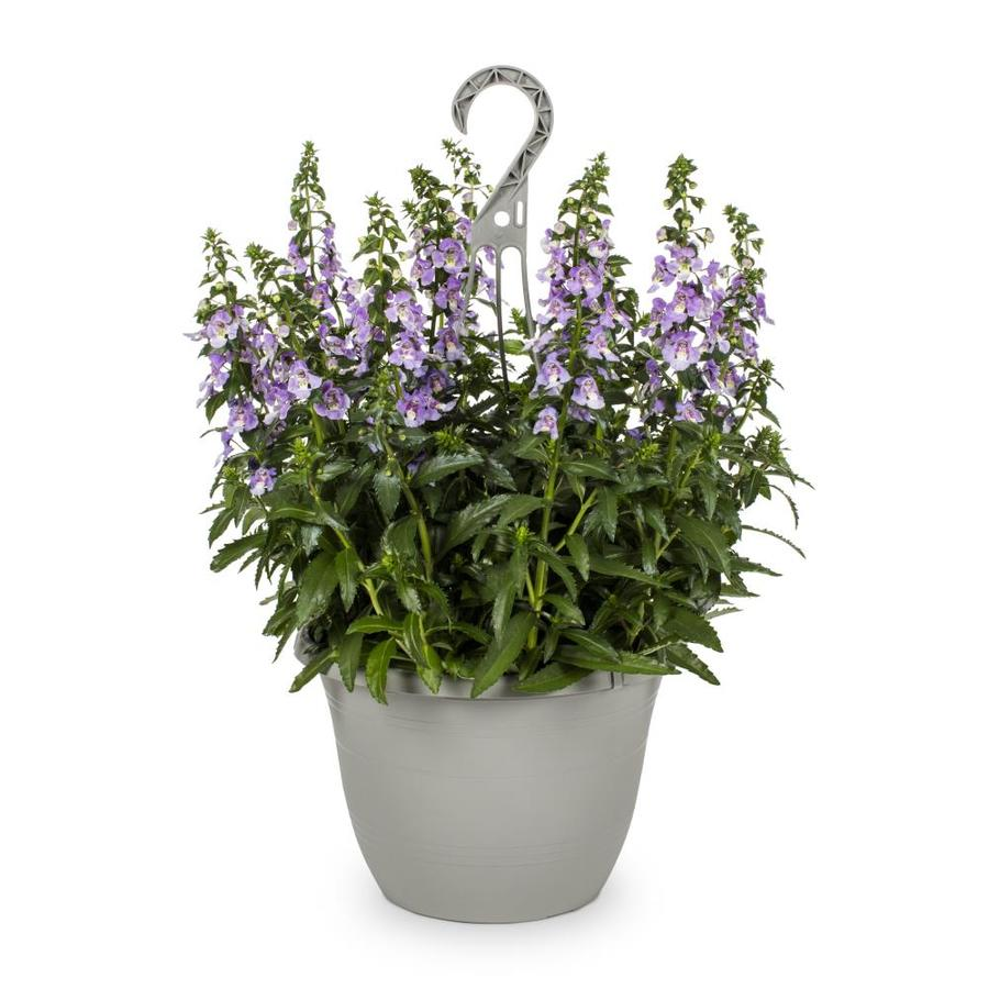 1.5-Gallon Angelonia (L10016)