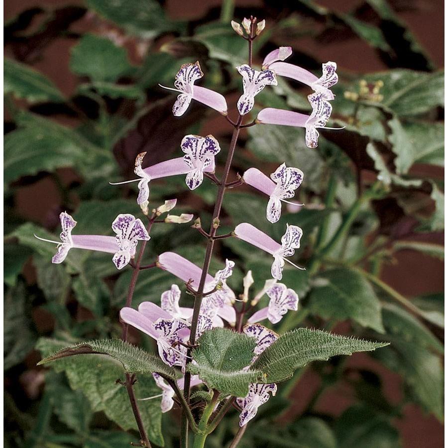 1.5-Gallon Mona Lavender Plectranthus (L0043)