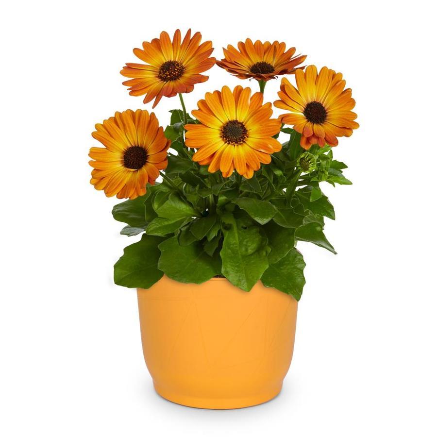 3-Quart African Daisy (L11796)