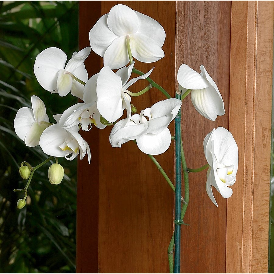 Phalaenopsis Orchid (L2963HP)