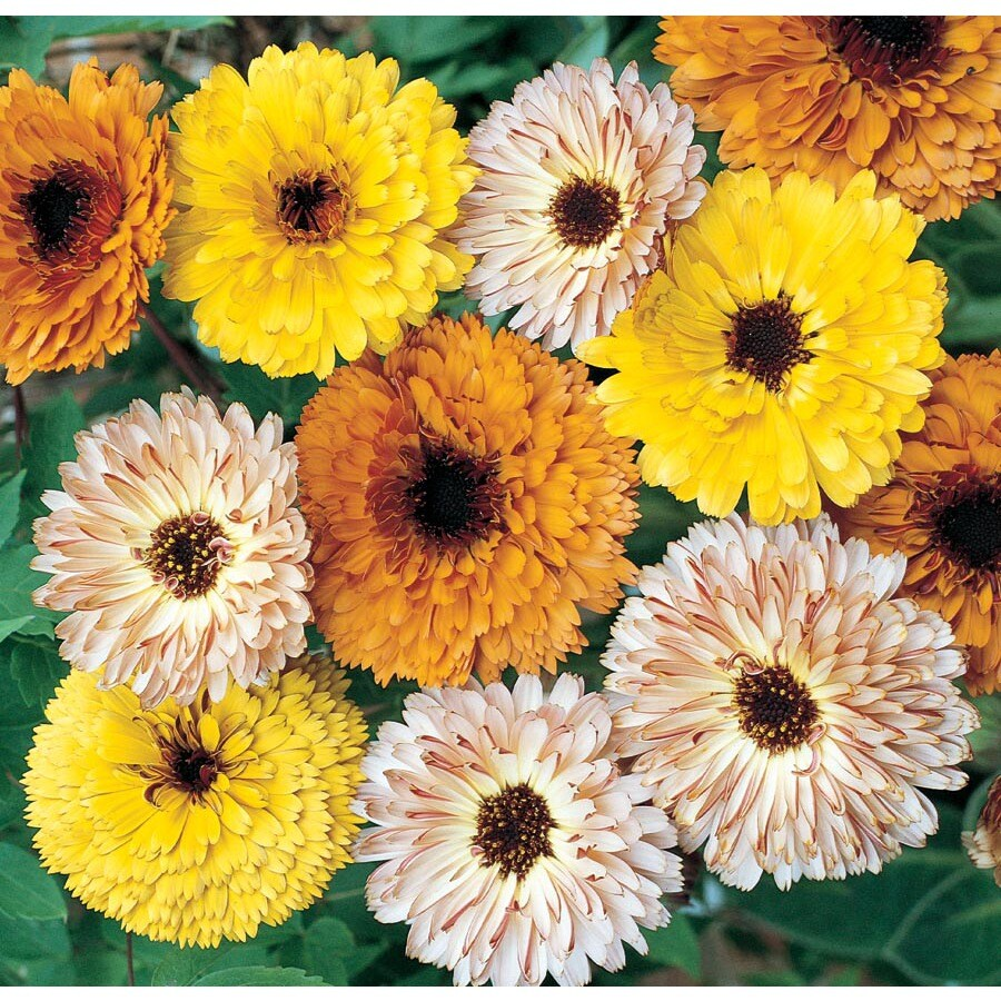 1.5-Gallon Calendula (L17862)