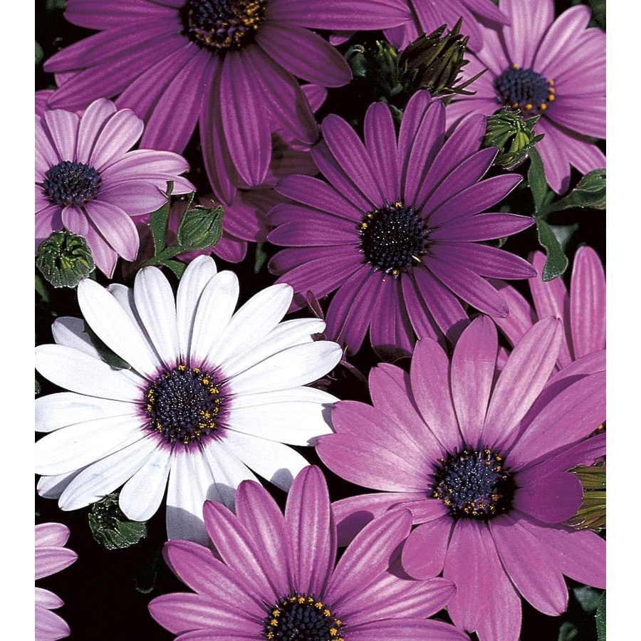 Shop 9 pack tray african daisy l11796 at lowes 9 pack tray african daisy l11796 izmirmasajfo