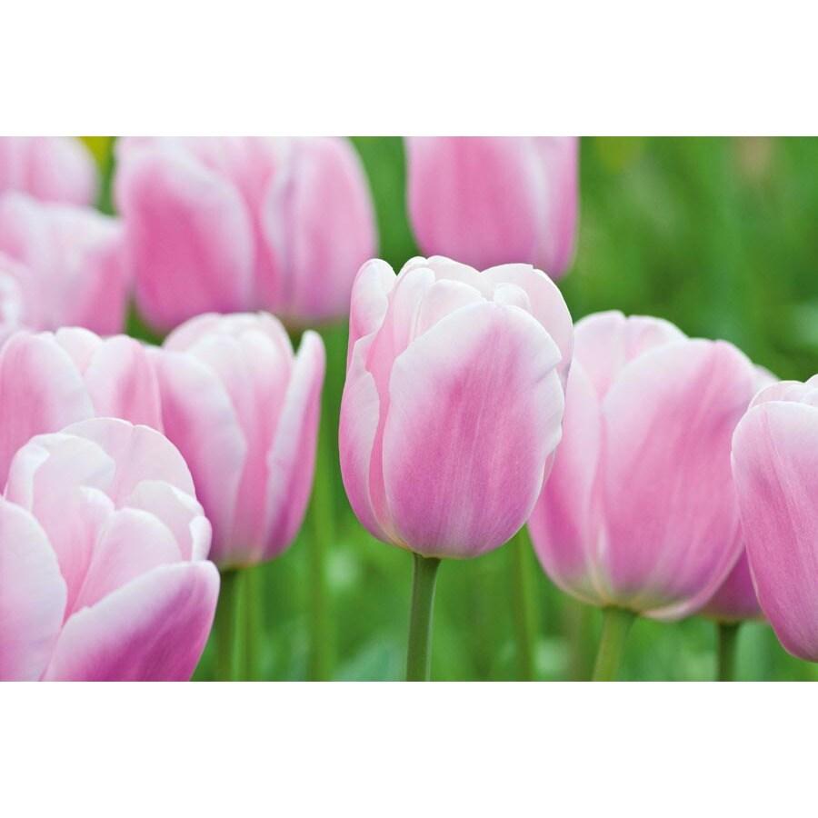 12-Pack Synaeda Amor Tulips