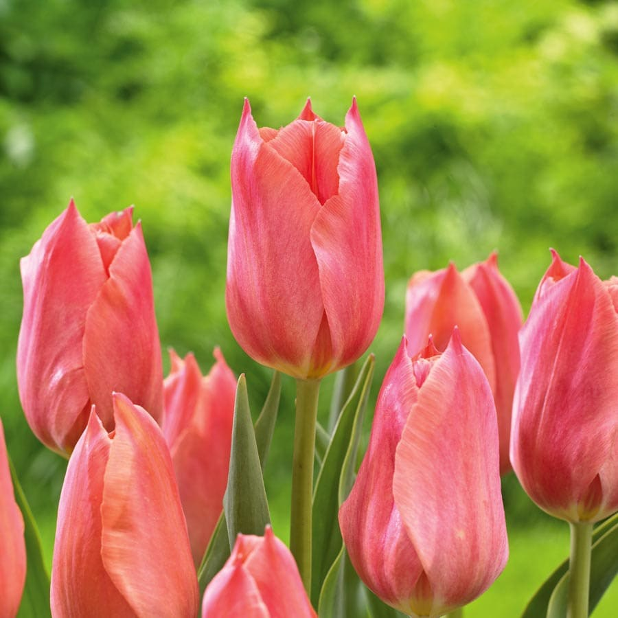 12-Pack Stunning Apricot Tulips