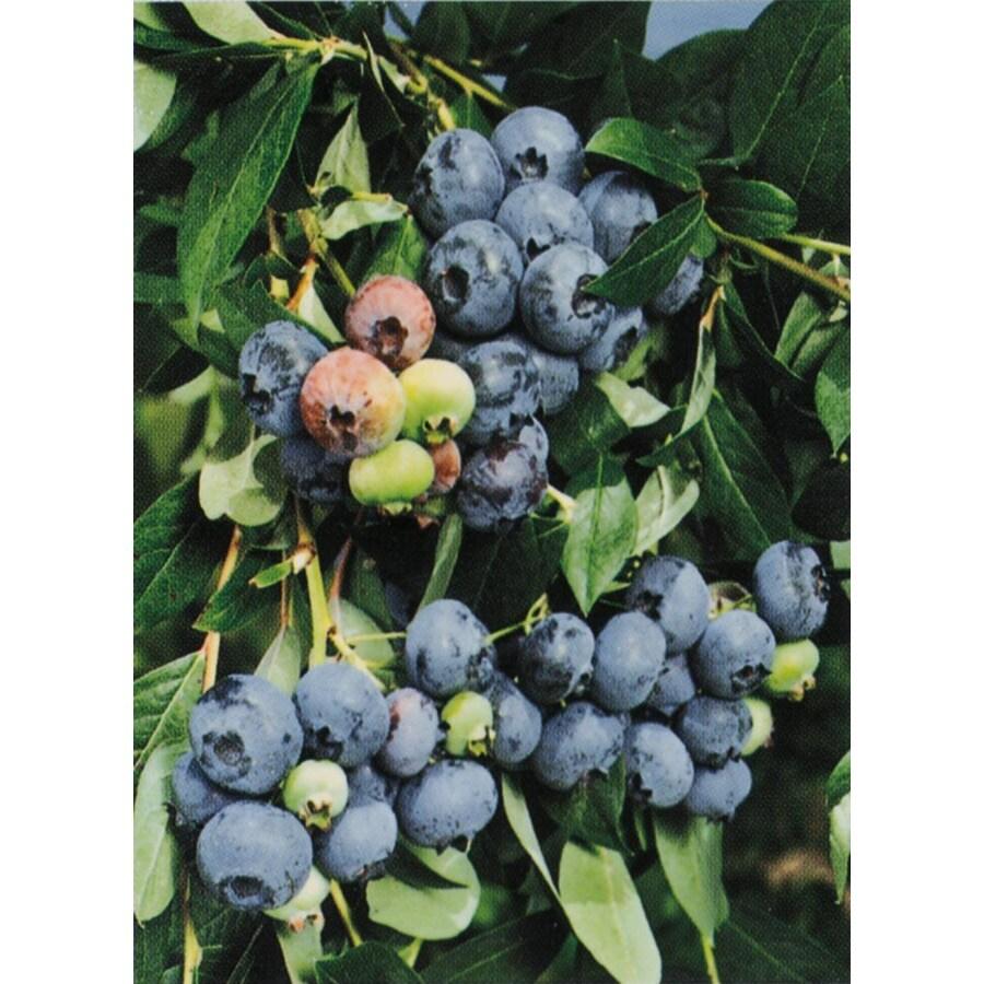 Jersey Blueberry (L8707)