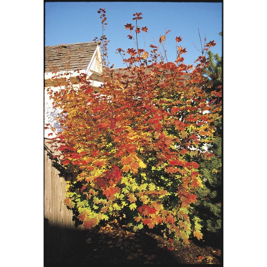 1-Gallon Vine Maple (LW00233)