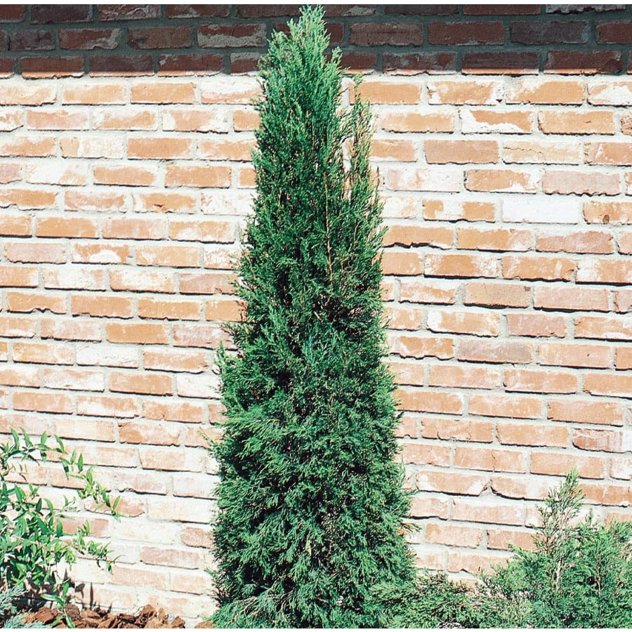2.5-Quart Spartan Juniper Feature Shrub (L4735)