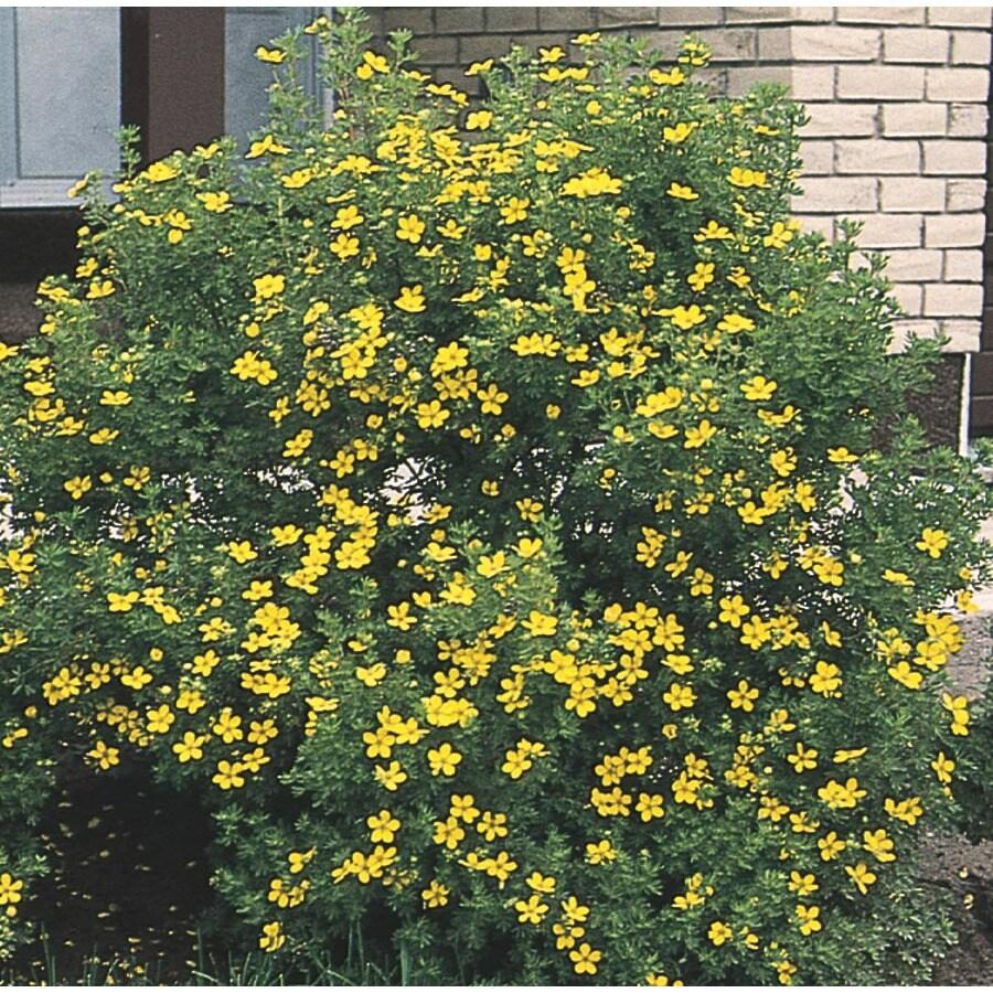 3.63-Gallon Yellow Potentilla Flowering Shrub (L3942)