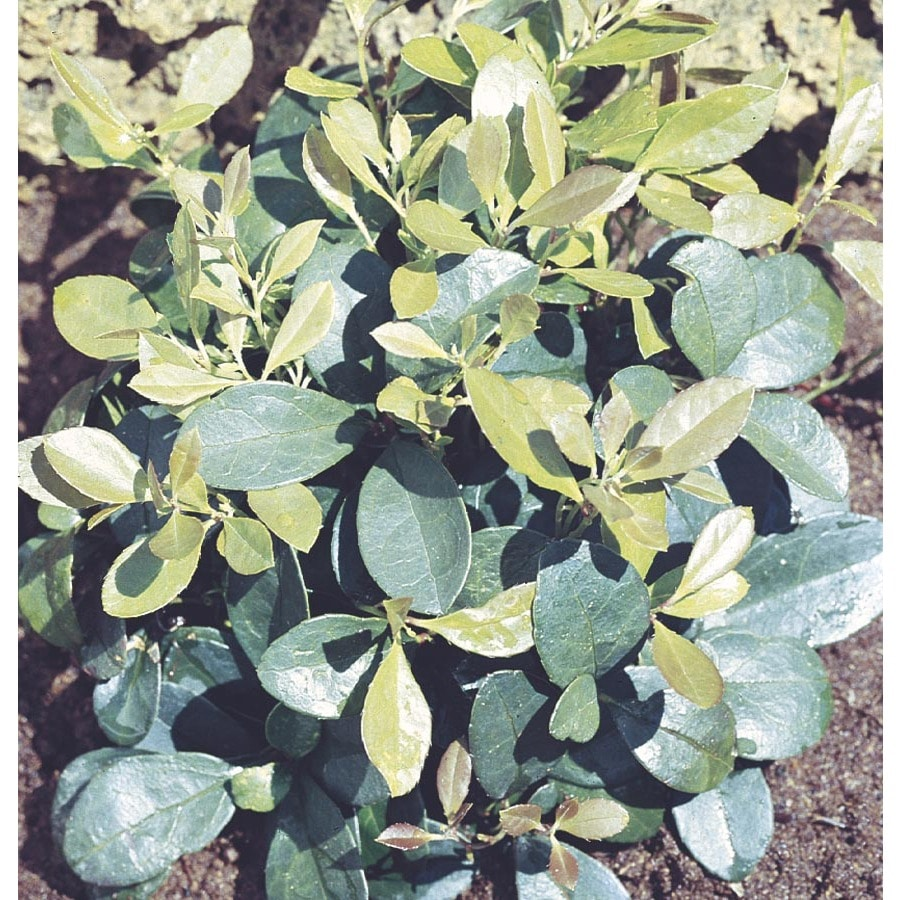 2.5-Quart Spreading Wintergreen (L6027)