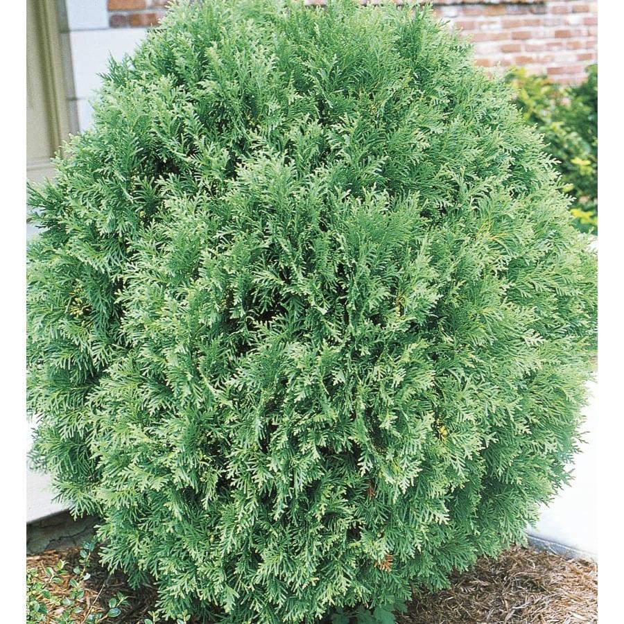 6-Gallon Globe Arborvitae Feature Shrub (L4610)