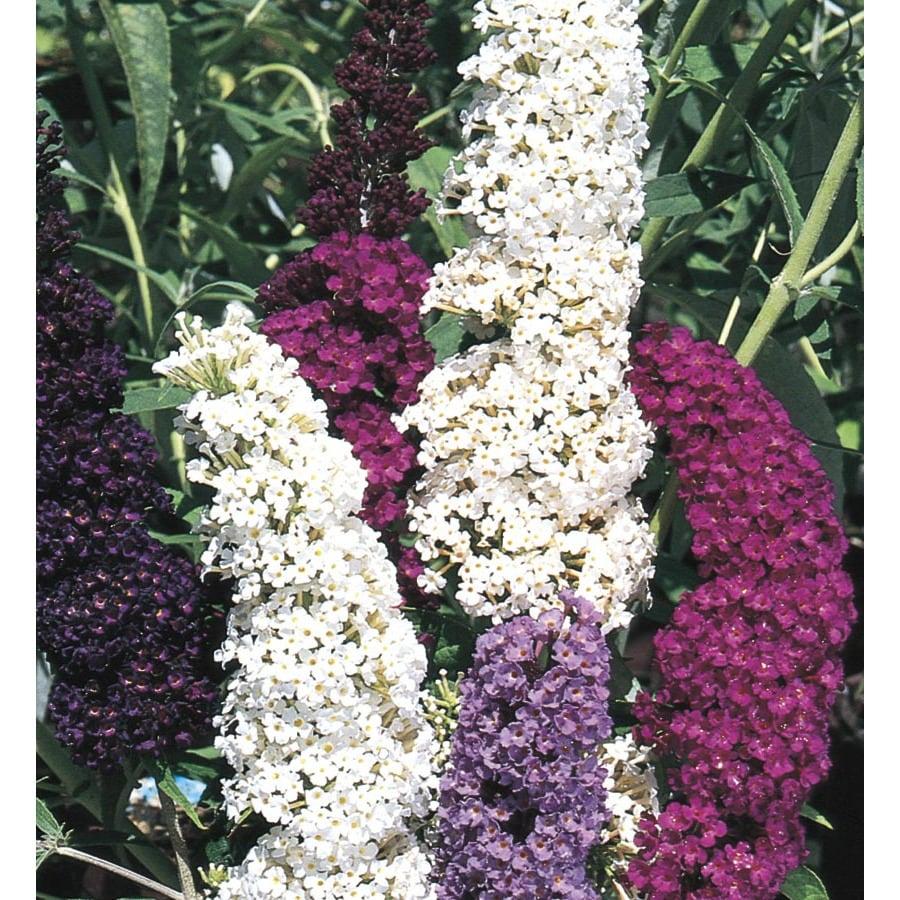 3.63-Gallon Purple Butterfly Bush Flowering Shrub (L8073)