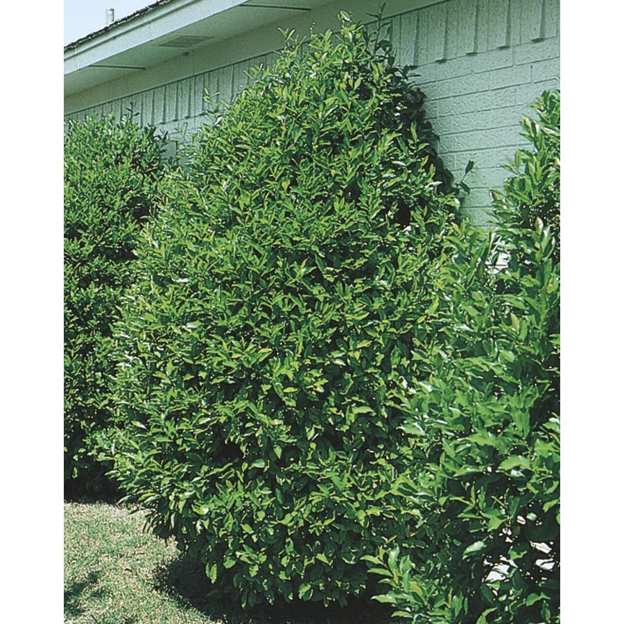 3.63-Gallon Carolina Cherry Laurel Screening Tree (L11188)