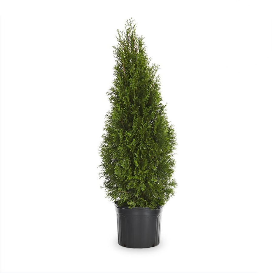 6.08-Gallon Emerald Green Arborvitae Screening Shrub (L5480)