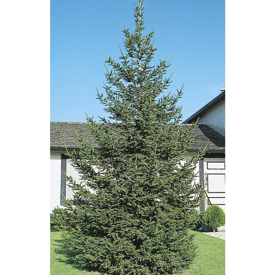 2.25-Gallon Norway Spruce Feature Tree (L1244)