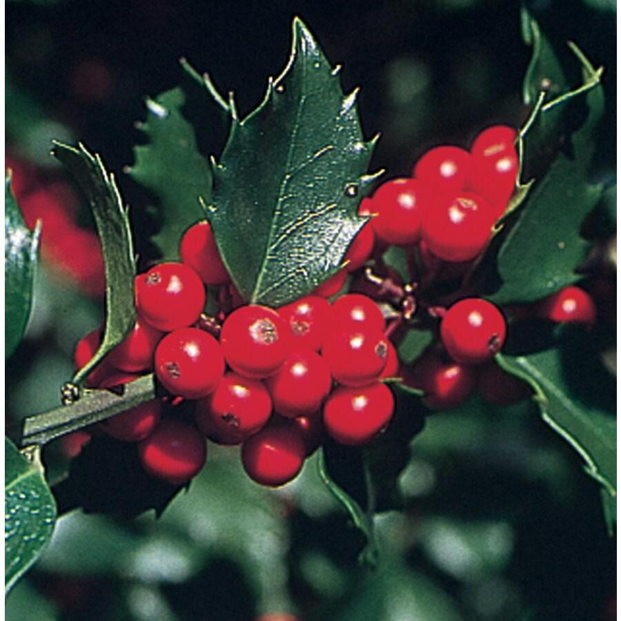 2.5-Quart Merry Berry Holly Feature Shrub (L5183)