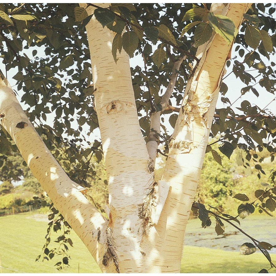 6-Gallon White-Barked Himalayan Birch Feature Tree (Lw00701)