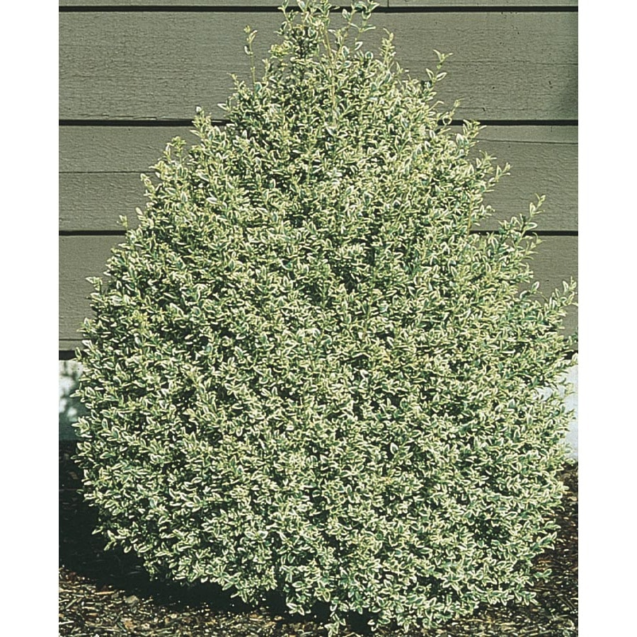 3.63-Gallon Variegated Boxwood Foundation/Hedge Shrub (L10824)
