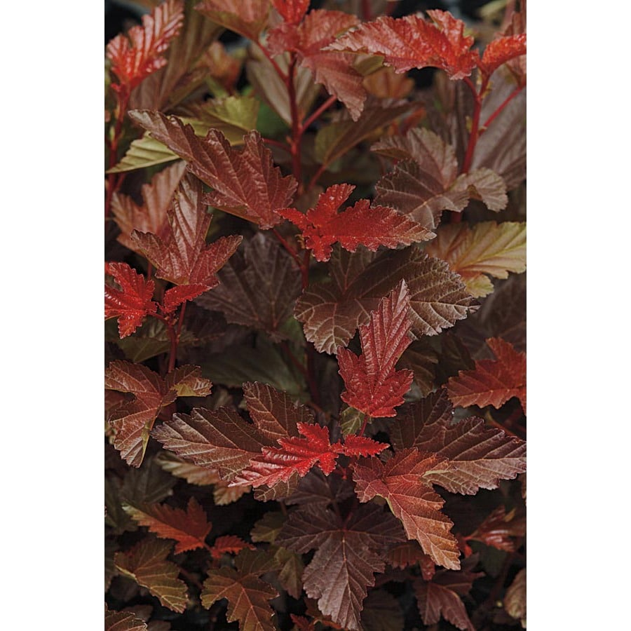 1-Gallon Pink Ruby Spice Ninebark Accent Shrub (L21706)