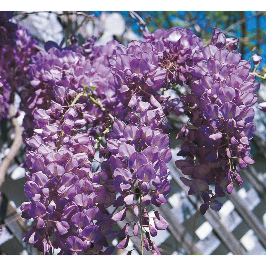 2.25 GAL WISTERIA STAKED ASSORTED