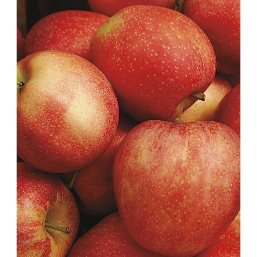 3.58-Gallon Honeycrisp Semi-Dwarf Apple Tree (LFT001)
