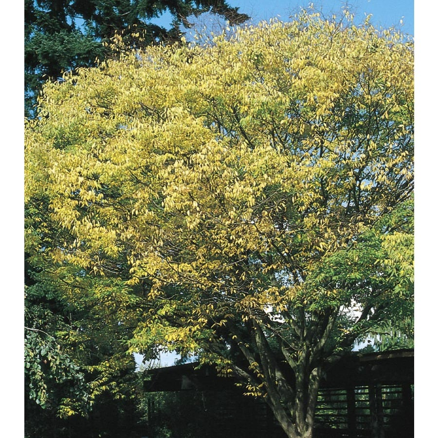 3.63-Gallon Japanese Zelkova Shade Tree (L7761)