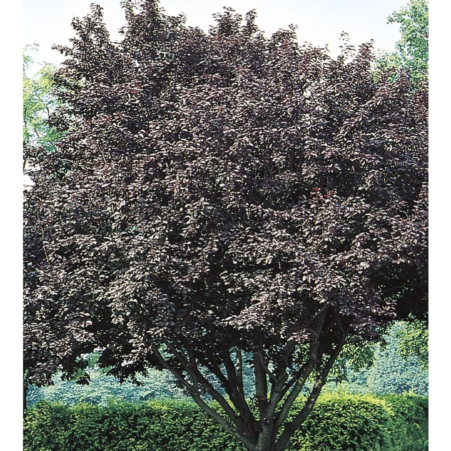 6-Gallon Flowering Plum Flowering Tree (L5986)