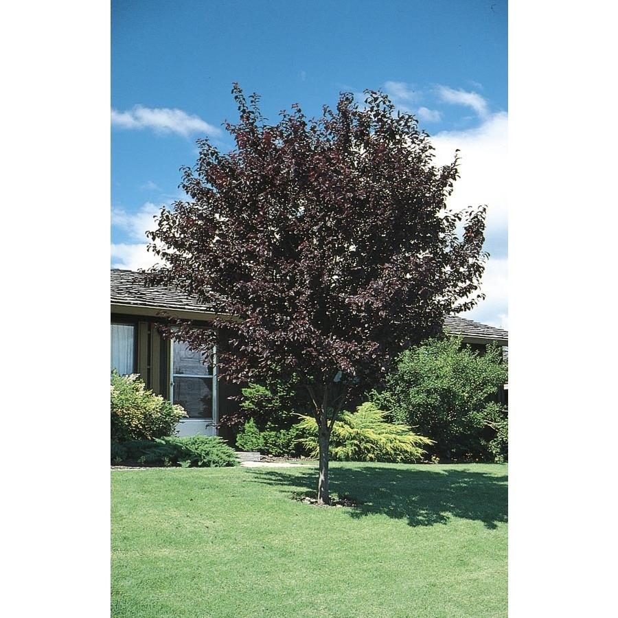 8.75-Gallon Thundercloud Flowering Plum Tree (L3215)