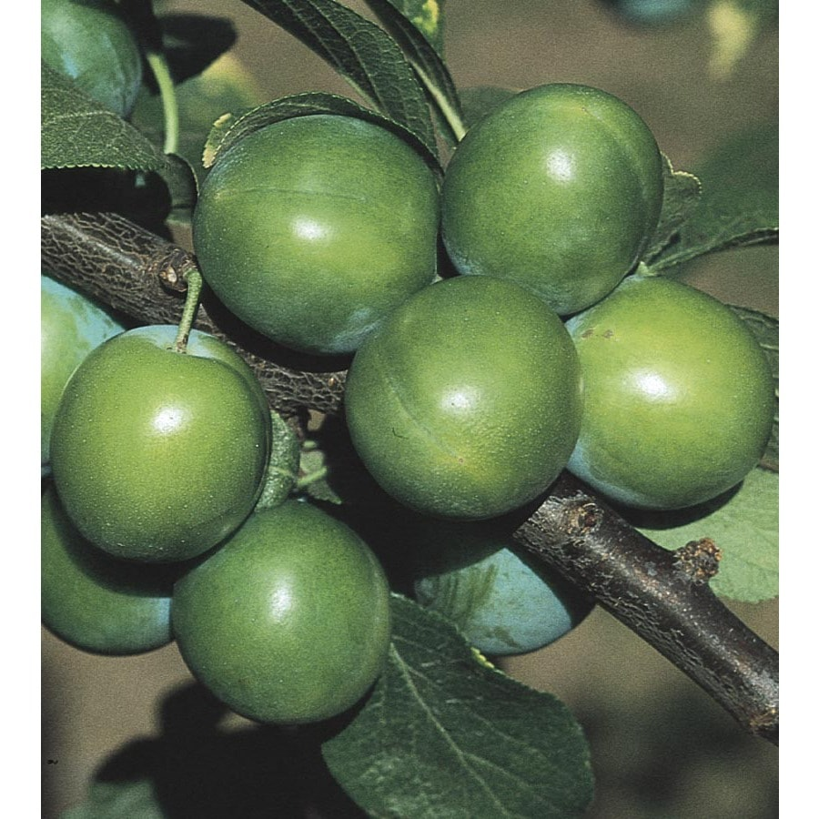3.58-Gallon Green Gage Semi-Dwarf Plum Tree (L8447)